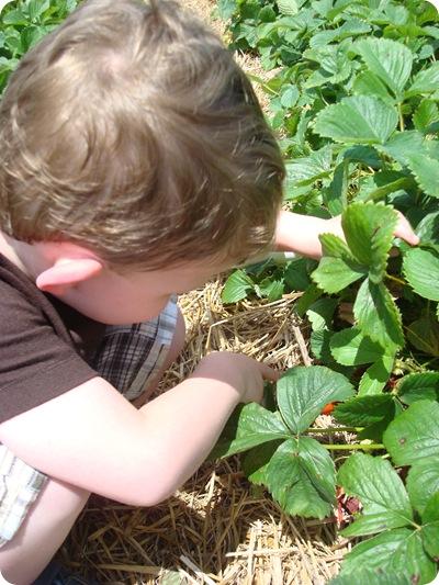 u pick strawberries Indiana